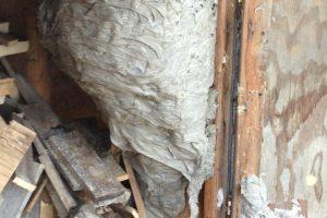 Hornet and wasp exterminator, Leamington, Windsor, Lakeshore