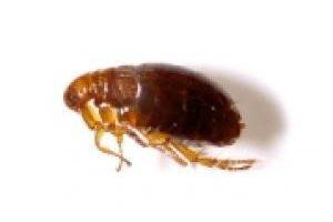 Flea exterminator, Windsor, lakeshore, kingsville
