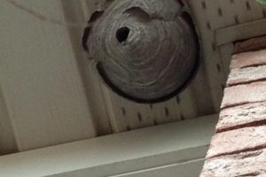 Hornet and Wasp extermination service, Essex, Lakeshore, Amaherstburg